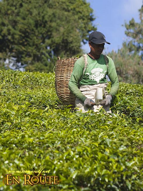 Cameron Highlands Tea Farming
