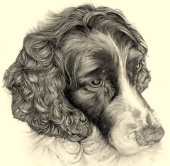 """Tara"" Spaniel pencil drawing (andream66) Tags: portrait dog beautiful animal illustration pencil sketch drawing spaniel pencildrawing dogdrawing animaldrawing bestofspecialpetportraits"