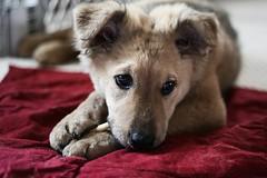 Nom nom (bignastyweather) Tags: dog puppy dakota dangit nothousetrained