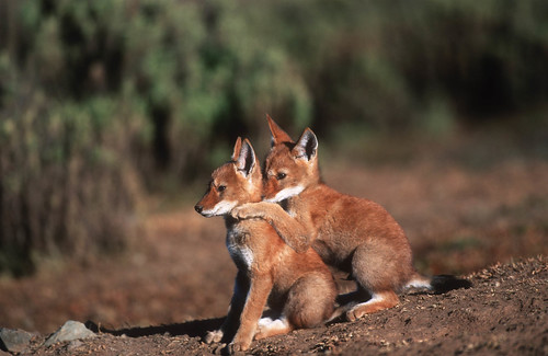 Ethiopian Wolf Field Project