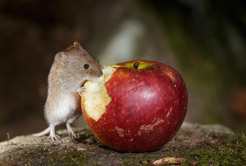 Bank Vole Eating Apple