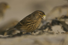 Twite (J J McHale) Tags: carduelisflavirostris twite bird wildlife nature