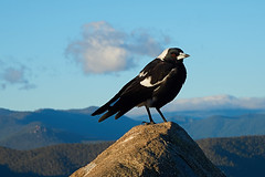 King of the Mountain (RobMacPhotography) Tags: canberra act australia magpie mountain blue sky skies cloud ranges arawang rock perch hills landscape weston creek black white bird sony a6000 rob mac photography morning outdoors hiking