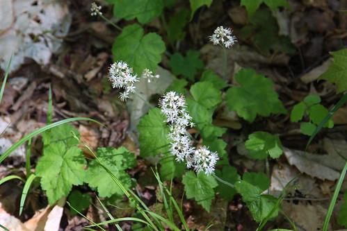 Foam flower on the trail