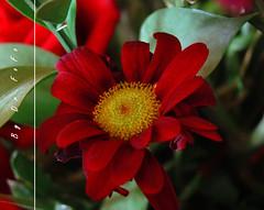 (.) Tags: red flower jeddah