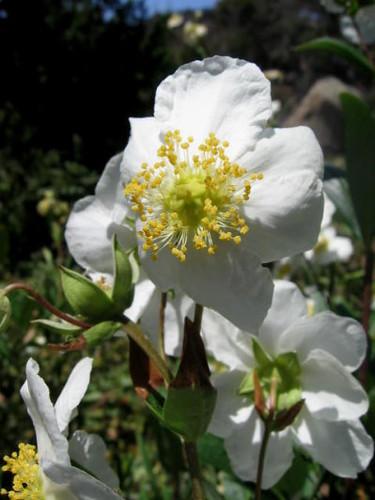 Santa Barbara Botanic Garden Anemone