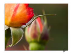 De color de rosa (Paco CT) Tags: flower rose geotagged spain dof flor ros 2009 esp vegetal terrassa cataluna ltytr1 pacoct geo:lat=4156745841 geo:lon=201714993 pardevallparadis