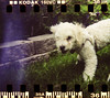 Dinky at about 6 months old (Graustark) Tags: dog white film 35mm holga texas houston kodakportra160vc dinky sprocketholes ratapoo ratterrierpoodlemix