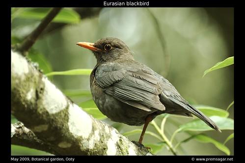 Eurasian Blackbird 2