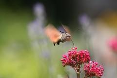 Kolibrievlinder (iv)