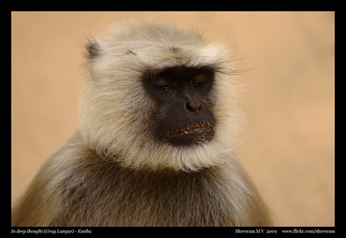 In deep thought - Grey Langur