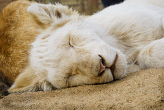 I see goats in my dreams (Zeepster`) Tags: wild animals southafrica wildlife safari lions cubs krugernationalpark lionpark babylions johannesurg