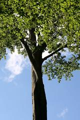 31. Mai 2009: Baum in Maria Plain (Gertraud-Magdalena) Tags: mai baum frhling frhjahr laubbaum mariaplain