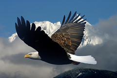 Eagle Viewing in Squamish BC Canada