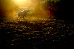 Golden Hour (onceawildchild) Tags: sunset summer horses june scotland spider explore q 2009 cuandor fineartphotos goldenphotographer vanagram artistictreasurechest daarklands magicunicornverybest theboysdoingtheirposeinthesunsetthing coppercloudsilvernsun