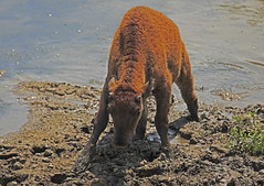 Baby Bison stuck (Todd Ryburn) Tags: usa nature animal canon mud bison peoriail wildlifeprairiestatepark babybison wpsp canon14xextender canonef500mmf4lisusm canon5dmarkii canon500mm40isllens
