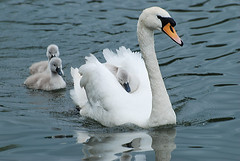 Hitching a ride. (griffithsgeorge) Tags: lake bird water swan cygnet ellesmere