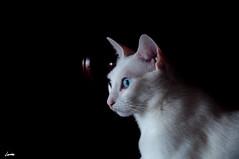 Cleo (Darkmelion) Tags: españa pet naturaleza cats white black blanco nature animals negro gatos galicia animales mascota d90 burgo espaa corua bestofspecialpetportraits