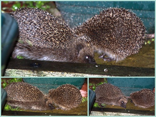 Adult and Young Hedgehogs