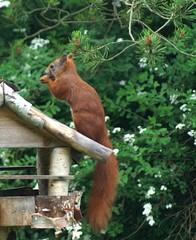 The fluffy tailed squirrel bird (Jaedde & Sis) Tags: squirrel critter feeder hareskoven 15challengeswinner 15challengewinner