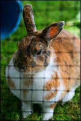 herb farm bunny (aloalo*) Tags: canada rabbit bunny animal bc farm fluffy delta herbfarm usagi wethamisland