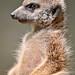 Yes, another meerkat!