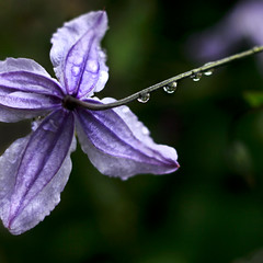 Purple Rain (red_dotdesign) Tags: reflection rain 50mm petals drops purple bokeh clematis