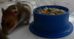 INQUISITIVE TINK (Dizzy Dora) Tags: hamsters