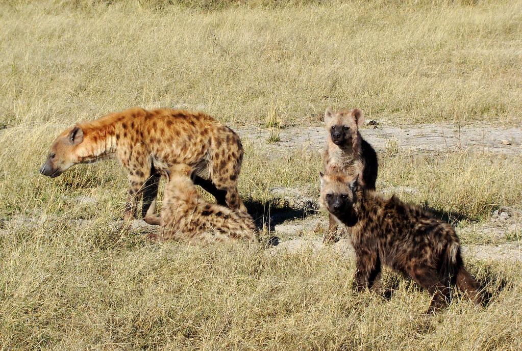 DSC07663 spotted hyena nursing