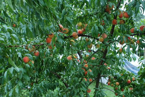 peach tree at Emily and Jeremy's