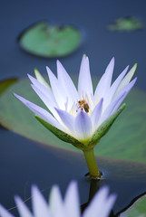 Waterlily (Carmelo61 PhotoPassion Thanks) Tags: pink flowers iris orange orchid flower tree green nature yellow daisies garden lily purple calla bokeh heather jasmine lavender rosa natura peony anemone gerbera rhododendron sunflower begonia daisy magnolia erica daphne camelia azalea petunia fiori mimosa geranium fiore primula campanula genziana viola bluebell cyclamen dafne girasole irises cornflower margherita giglio giardino gentian girasoli tulipano orchidea tuberose geranio ciclamino margherite papavero valerian peonia ninfea fiordaliso tuberosa rododendro gelsomino giacinto valeriana garofano giaggiolo wonderfulworldofmacro rodiola bealivebetopbeseven mygearandme