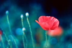 Light Up (SachieNagasawa) Tags: summer plant flower nature fleur plante season 50mm nikon bokeh poppy été vegetal coquelicot sachie saison nagasawa d80 somewhair hantenshi