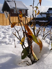 And this means it's spring time. (amateur_eyes) Tags: snow out spring time ground growth spurting