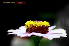 Flower or Cake???? (F-I-M-$) Tags: pink brown black flower green cake petals stem cannon yeloow fahud 1000d