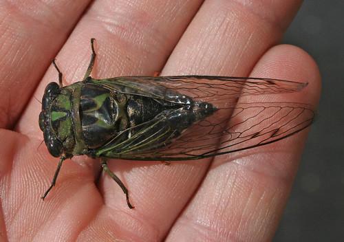 Harvestfly Cicada