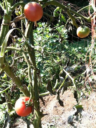 トマト tomato