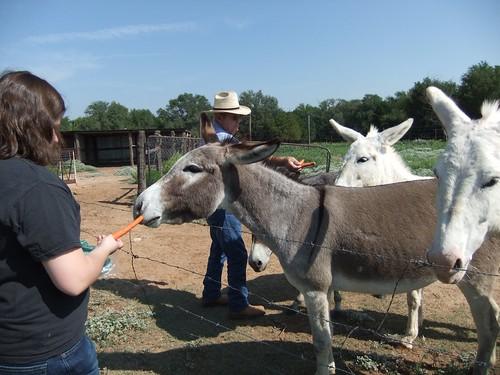 Lavada feeding the donkeys