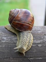 chiocciola (loryd66) Tags: fauna snail lumaca chiocciola flickrsbest mywinners abigfave theunforgettablepictures theperfectphotographer loryd66 wwwloredanaperuginiit