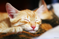 Preguia (venanciofilho) Tags: sleeping brazil animal fauna cat canon nap dof sleep kitty lazy gato felino 18 preguia filhote flurry dormindo 30d vennciofilho