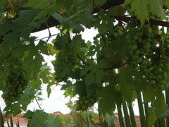 Organic Grapes from Earthworm(TM) Vermicast