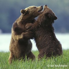 Grizzly bears wrestle in the Great Bear Rainforest