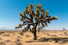 Le dsert de Mojave (PhotoSophil) Tags: usa plant tree nature plante landscape desert joshuatree paysage arbre vegetal flore californie lightroom pentaxk20d eastkern