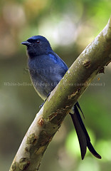 Birds of Sri Lanka , Species No 46 (Sara-D) Tags: nature birds canon wildlife srilanka ceylon drongo caerulescens dicruridae whitebellied dicrurus asianwildlife whitebellieddrongo birdsofsrilanka dicruruscaerulescens birdsofsouthasia wildsrilanka