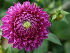 Dahlia (Misty Jane) Tags: pink dahlia flower topshots flowersarebeautiful excellentsflowers natureselegantshots mimamorflowers theperfectpinkdiamond newgoldenseal theoriginalgoldseal mixofflowers