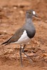 Senegal Lapwing by Jacques de Villiers
