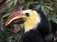 Hornbill at Avifauna (Alexander Wieringa) Tags: birds vogels hornbill avifauna alphenaanderijn vogelpark