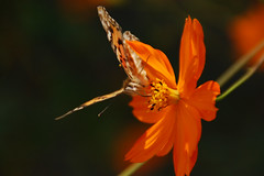 Fall Butterfly (pokoroto) Tags: autumn flower japan butterfly bug insect flora october  fukuoka 2009 kyushu  iizuka 10    kannazuki  21 chikuh