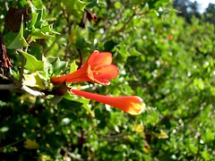 Desfontainia_spinosa-Berkeley_Botanical-102709 (Pterosaur Whisperer) Tags: chile orange plant flower southamerica floral leaves leaf flora foliage andes shrub spiny spinosa taique gentianales desfontainia desfontainiaceae chapico trautrau