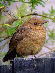 CASTING, a wary eye. (the water watcher 05.) Tags: brown green bird birds fence scotland turdusmerula blackbird dumfriesandgalloway fledgeling dumfriesshire langholm fujifinepixs5600 femaleblackbird bbng