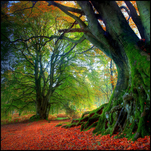 Autumn Beech by angus clyne